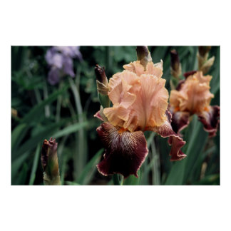 Tall Bearded Iris Diva Do Poster