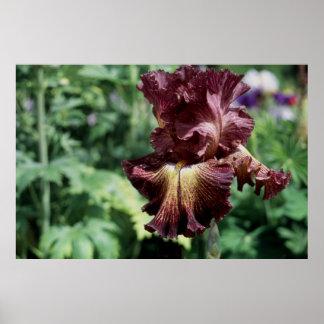 Tall Bearded Iris Tangled Web Poster