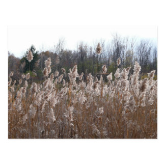 Tall dry grass postcard