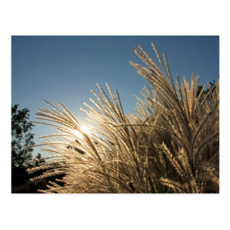 Tall Grass and Sunset Post Card