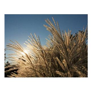 Tall Grass and Sunset Postcard