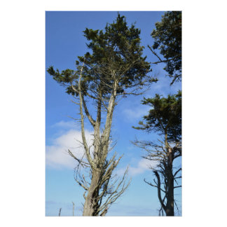 Tall Scots Pine Poster