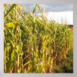 Tallos del maíz en la puesta del sol posters