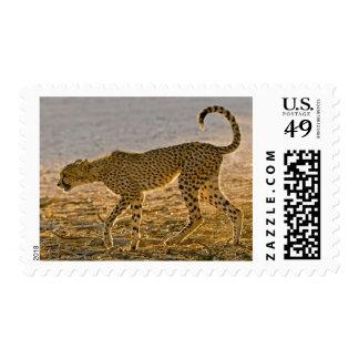 Tallos jovenes del guepardo (Acinonyx Jubatus) Sellos