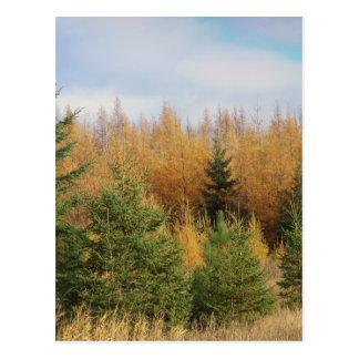 Tamarack And Spruce Postcard