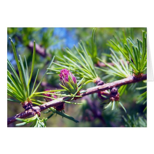 Tamarack Larch Foliage 4 Greeting Card