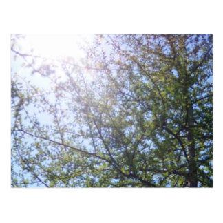 Tamarack Larch Tree 2 Postcard