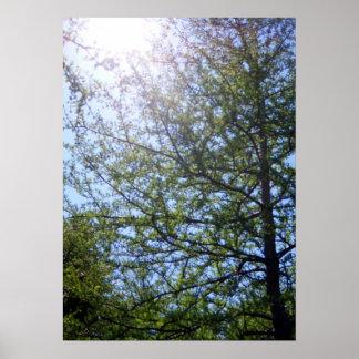 Tamarack Larch Tree 2 Poster