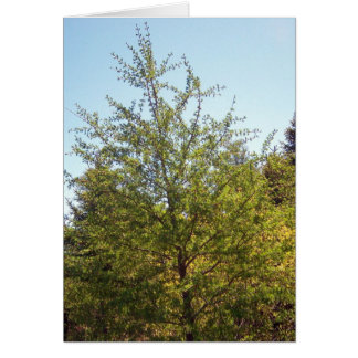 Tamarack Larch Tree 3 Greeting Card