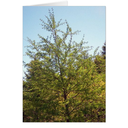 Tamarack Larch Tree 3 Greeting Card