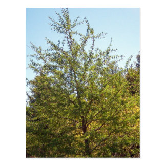 Tamarack Larch Tree 3 Postcard