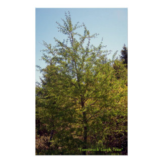 Tamarack Larch Tree 3 Poster