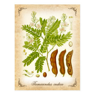 Tamarind - vintage illustration postcard