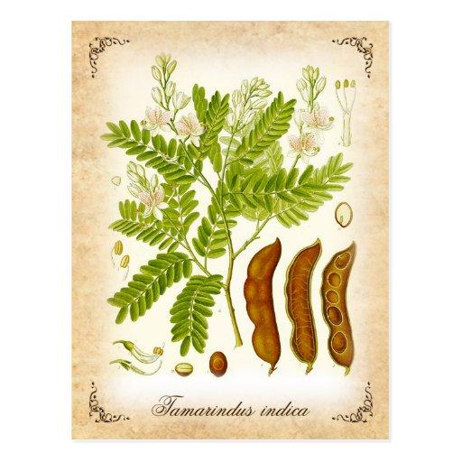 Tamarind - vintage illustration postcard