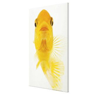 También conocido como goldfish Cometa-atado. Resis Impresion De Lienzo