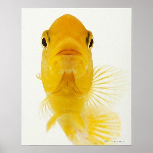 También conocido como goldfish Cometa-atado. Resis Póster