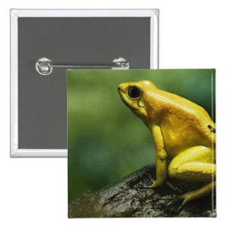 también conocido como rana de oro del dardo; endem pin cuadrada 5 cm
