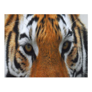 tambin the tiger  - eyes  -noah's ark,uk postcard