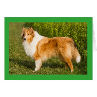 Tan And white Collie Puppy Dog Blank Card