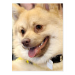 Tan German Spitz Dog Breed Postcards