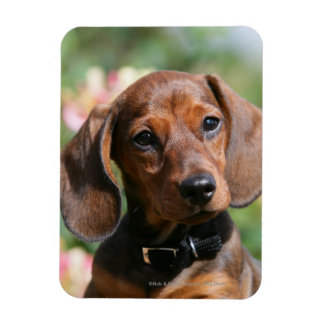 Tan Miniture Dachshund Rectangle Magnet