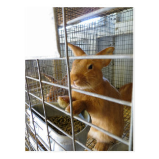 Tan Rabbit Postcard