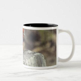 Tanager de escarlata masculino en plumaje de la taza de dos tonos