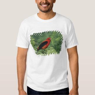 Tanager de escarlata, olivacea del Piranga, varón Polera