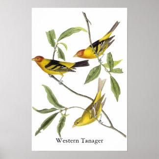 Tanager occidental - John James Audubon Poster