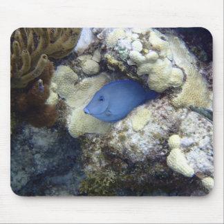 Tang azul, isla de Gran Caimán Tapetes De Ratón
