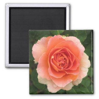 Tangerine Rose 2 Inch Square Magnet