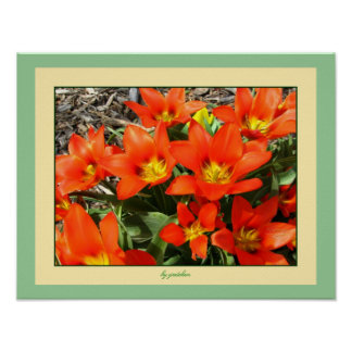 Tangerine Tulips Bloom Bursting Poster by gretchen