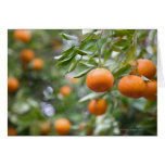 Tangerines hanging in tree greeting card