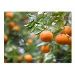 Tangerines hanging in tree postcard