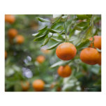 Tangerines hanging in tree poster