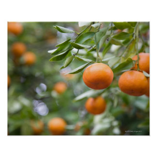 Tangerines hanging in tree poster