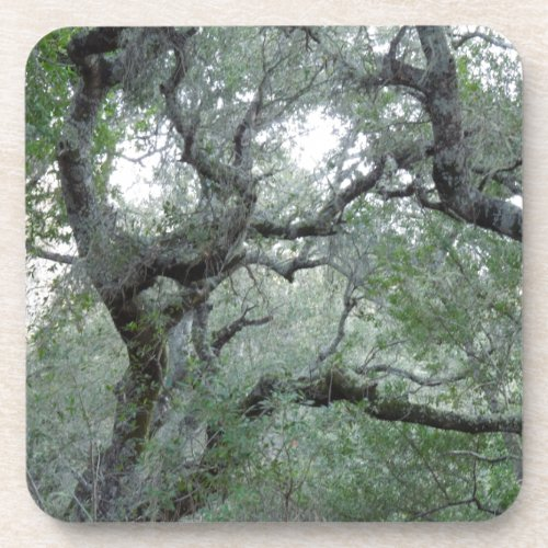 Tangled Oak Trees in Paso Robles, California Beverage Coaster