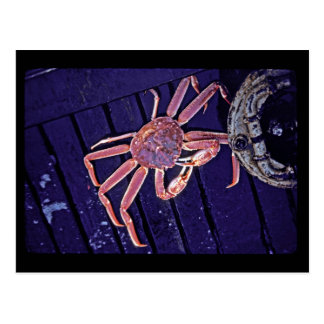 Tanner Crab Postcard