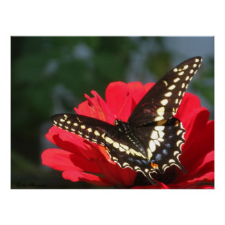 Tanning Butterfly Poster