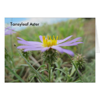 Tansy Leaf Aster Card
