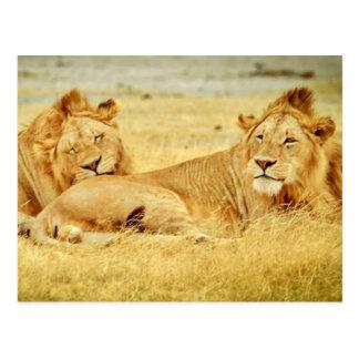 tanzania-280340 WILD BIG CATS LIONS  tanzania sere Postcard