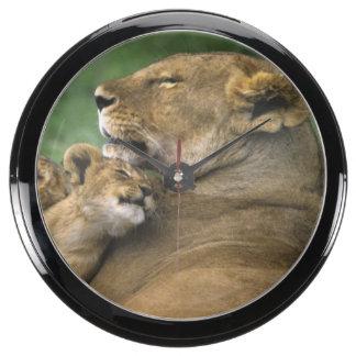 Tanzania, Ngorongoro Crater. African lion mother Aquarium Clock