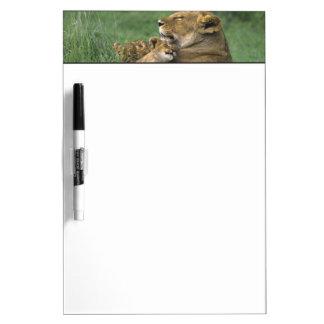 Tanzania, Ngorongoro Crater. African lion mother Dry-Erase Board