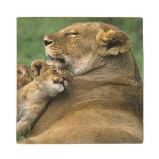 Tanzania Ngorongoro Crater African lion mother Wood Coaster