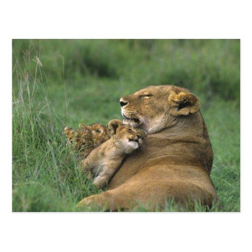 Tanzania, Ngorongoro Crater. African lion mother Postcard