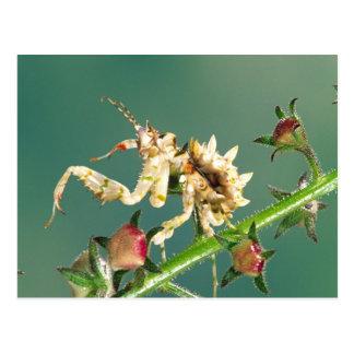 Tanzanian Flower Mantis, Pseudocreboter Post Card