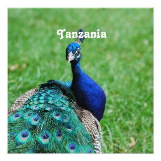 Tanzanian Peacock Announcements