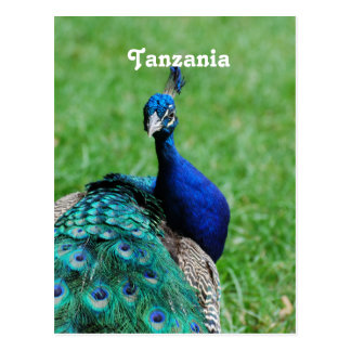 Tanzanian Peacock Post Card