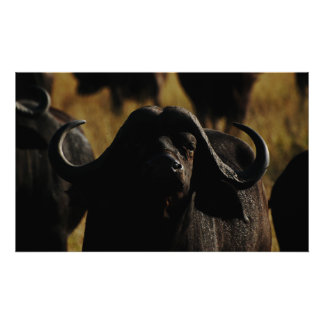 Tapices del safari del cabo del búfalo póster