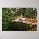 Tapices y imágenes de la jirafa poster